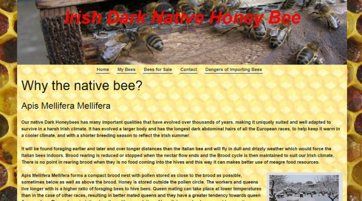 Irish Dark Native Honey Bee